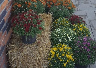 Fletcher Richard Landscape Supplies Straw Mums